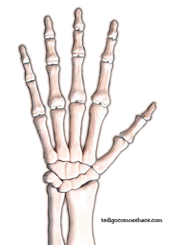 Contemporáneo Anatomía De La Mano Esqueleto Foto - Anatomía de Las ...