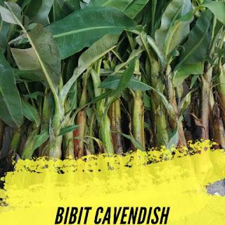 bibit-pisang-cavendish.jpg