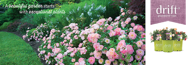 Drift-groundcover-roses