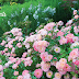 Drift groundcover roses