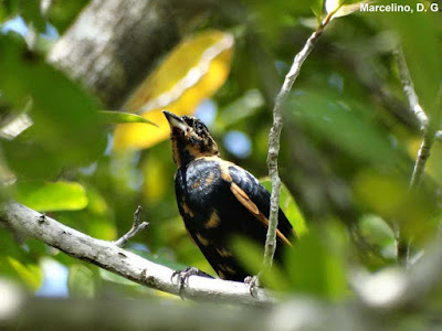 Global big day, global big day 2016, global big day Tocantins, Pipira-preta, Tachyphonus rufus, World Big Day Brazil, White-lined Tanager, aves do tocantins, APA Lago de Palmas, birding, birdwatching, Natureza, blog natureza e conservação
