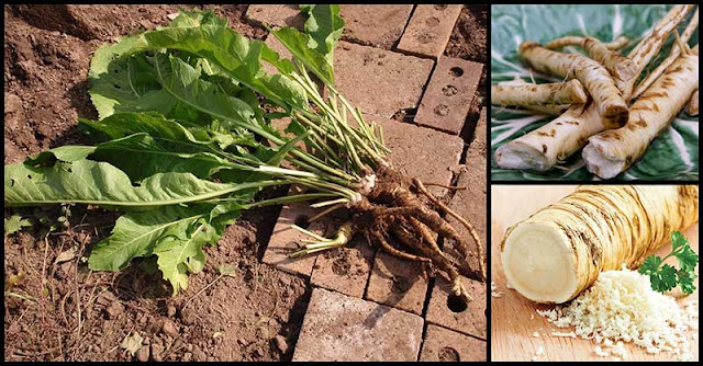 Eliminate Cancer-Causing Free Radicals In The Body With The Help Of Horseradish