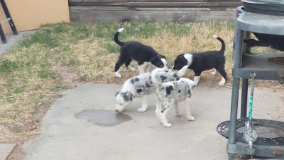 Blue heeler border collie mix Temperament, Size, Adoption, Lifespan, Price