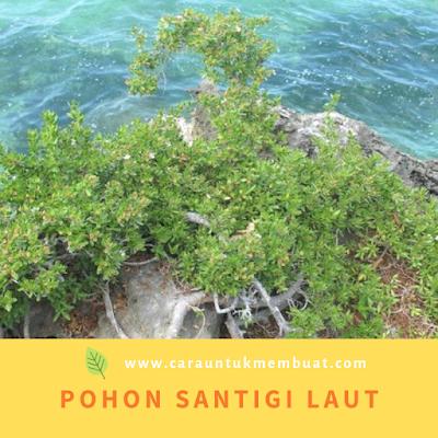 Pohon Santigi Laut