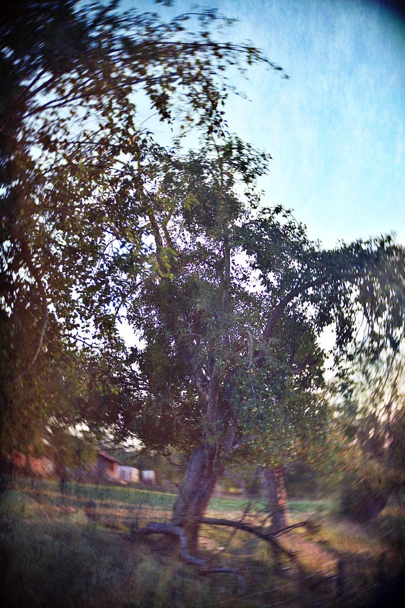 Ein swirliger Afpelbaum im Abendlicht