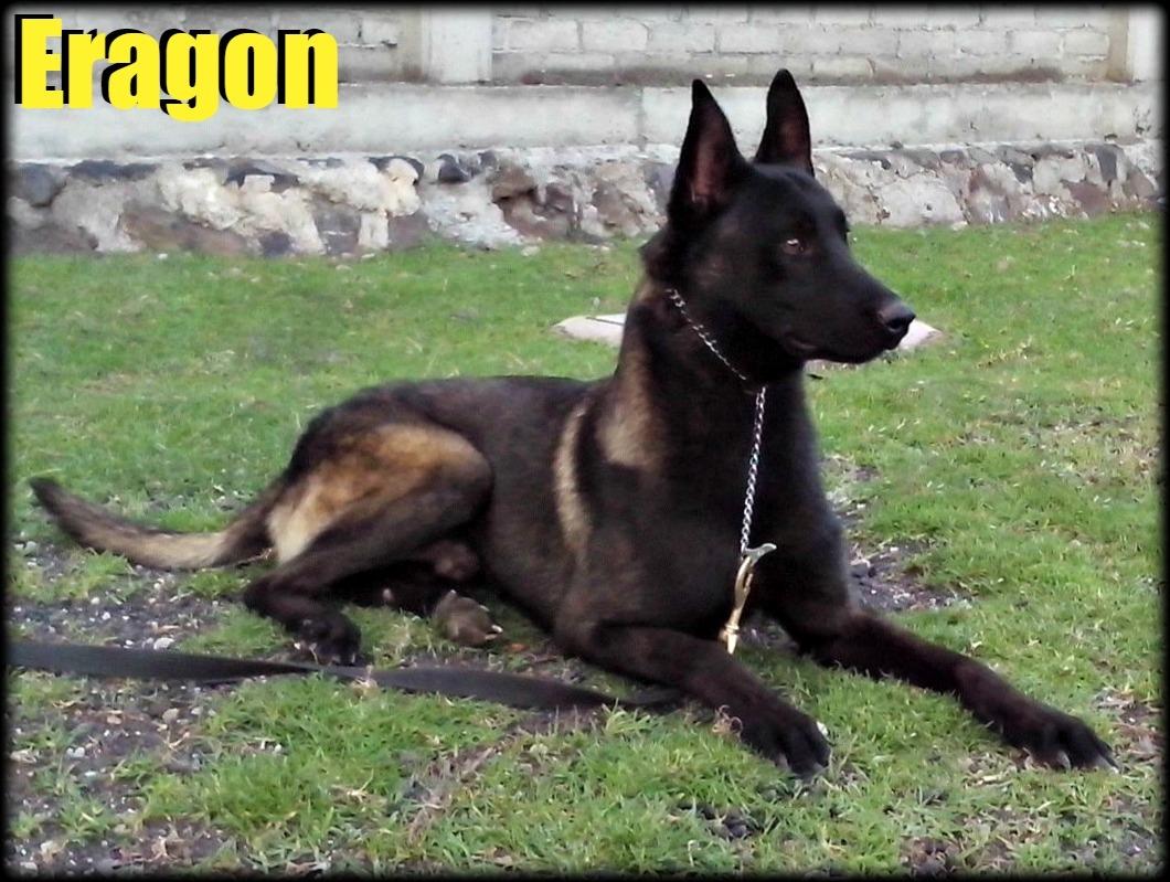 milanuncios de perros de regalo gratis pastor aleman cachorros