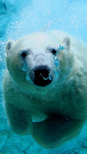 kutup ayısı whatsapp duvar kağıtları