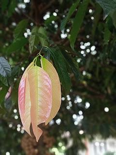 Ilustrasi pucuk daun kepel berwarna merah muda cerah (dokumen pribadi)
