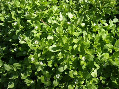 An image of common Chickweed (Stellaria media)