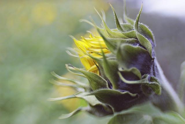 gambar bunga matahari cantik