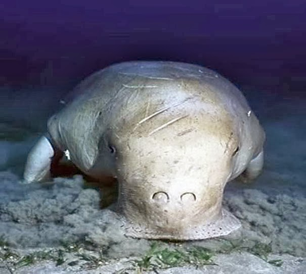 Dugong - 22 Bizzarre Animals You Probably Didn't Know Exist