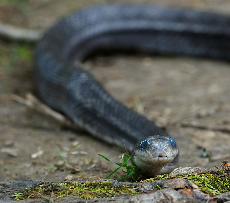 Black Rat Snake crawling on ground with straight-on shot of the head (blue eyes indicate shedding)