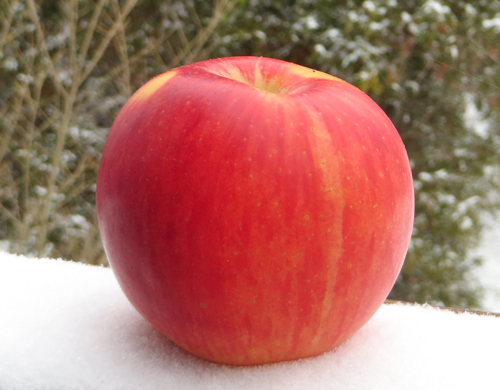 a Lady Alice apple in the snow
