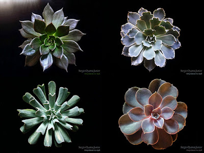 Suculentas do gênero Echeveria