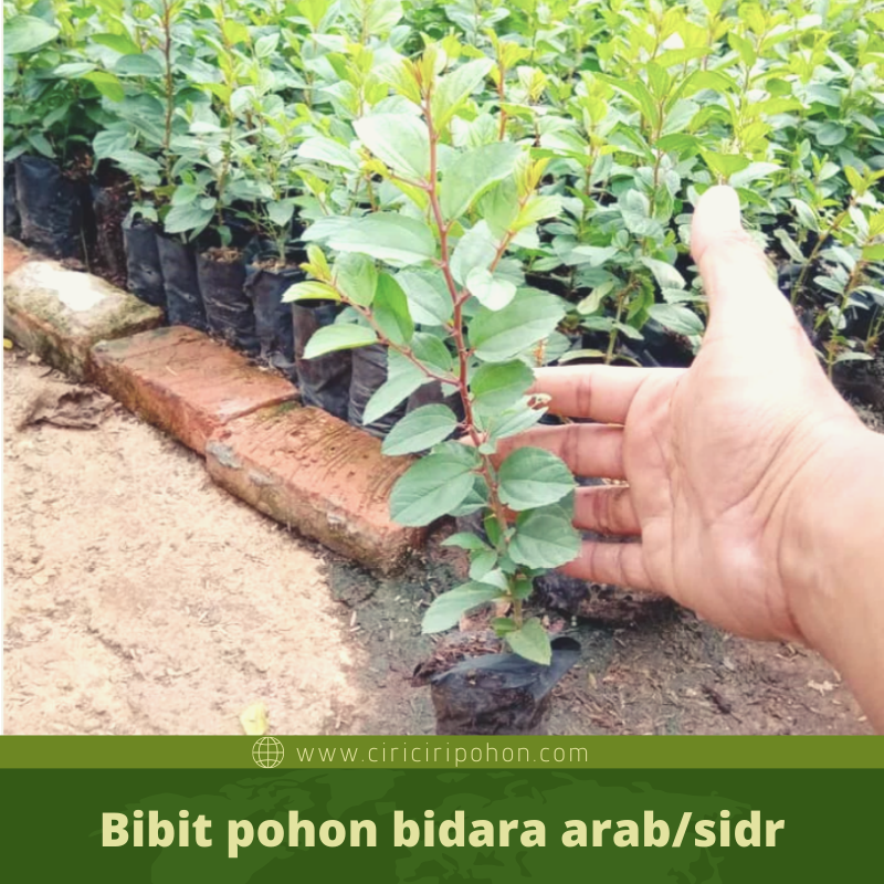 ciri ciri pohon bidara