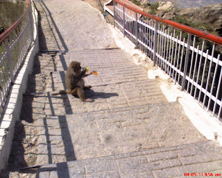 Monkey at Vaishno Devi