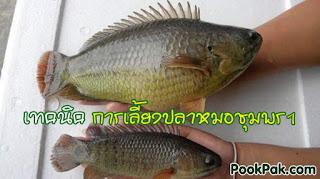 วิธีเลี้ยงปลาหมอชุมพร 1