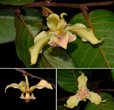 นมหนู, มะป่วน, ลำดวนดง ไม้ไทยดอกหอม ดอกสีเหลืองสวยงาม Mitrephora tomentosa