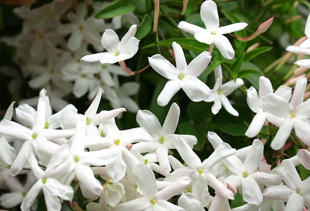 اجمل الصور لزهرة الفل البيضاء الجميلة