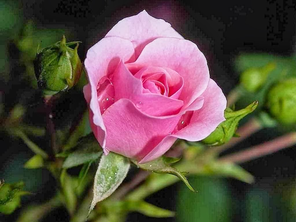Gambar Bunga Mawar Yang Unik Koleksi Gambar Hd
