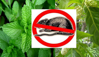 cara membasmi tikus di rumah dengan alami