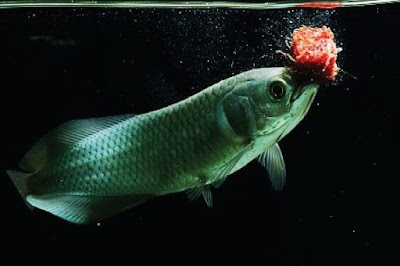 Ikan Arwana Afrika