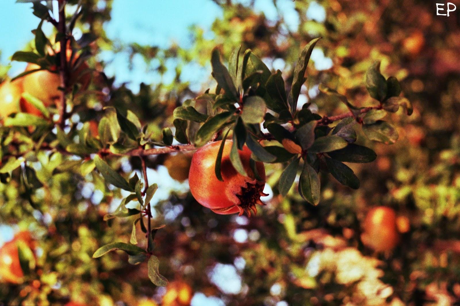 Pomgranate shot with a Praktica MTL5