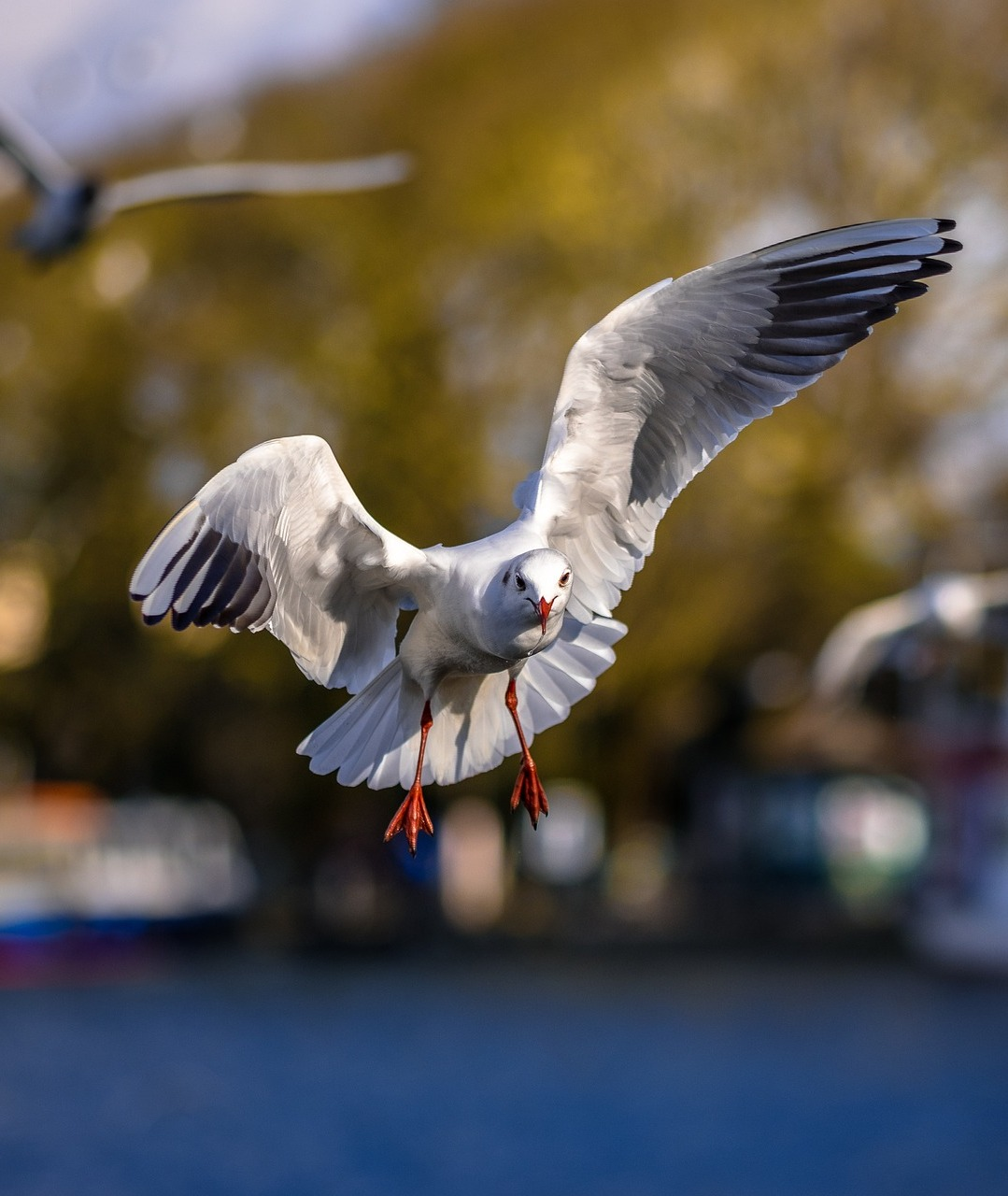 Picture of seagull in flight.