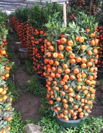 budidaya jeruk sunkist, budidaya buah jeruk sunkist, budidaya jeruk sunkist, budidaya jeruk sunkist dalam pot