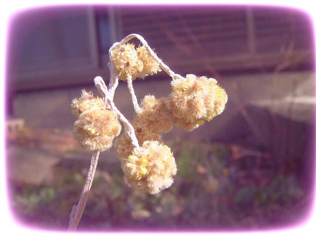 Sekuntum bunga Edelweis