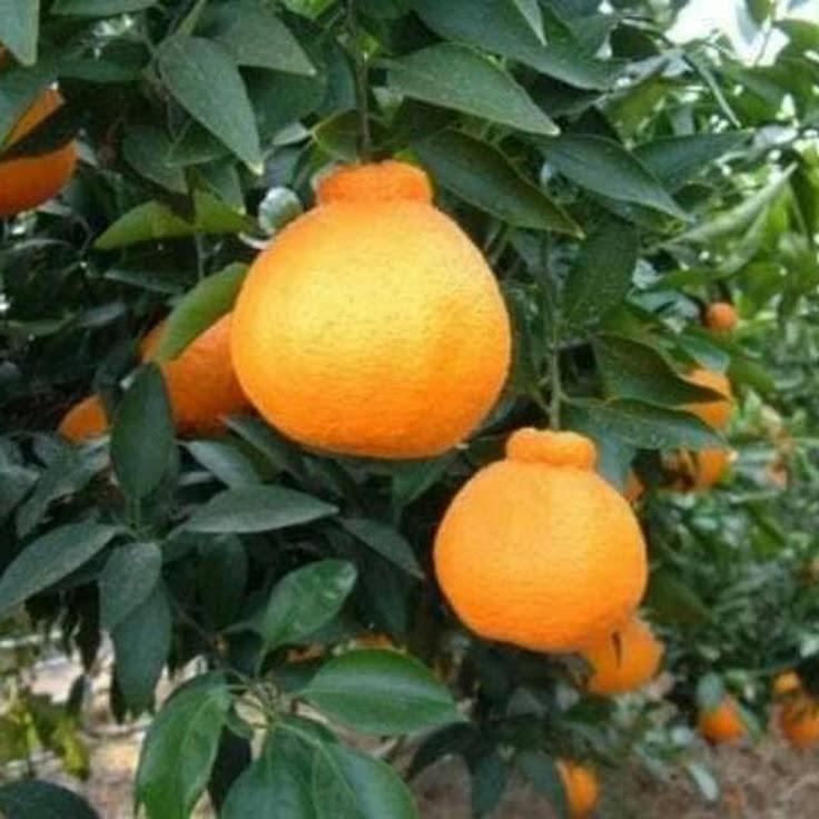 Bibit jeruk dekopon hasil okulasi cepat berbuah Denpasar