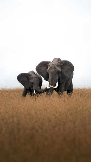 Elephants, Africa, Wildlife, Grass