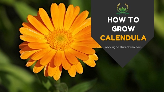 How to grow, plant and care for calendula