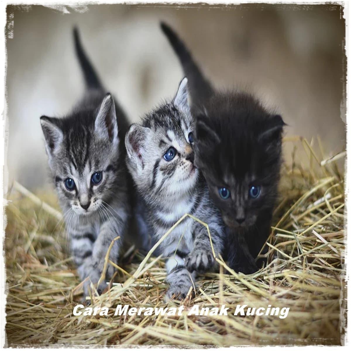 Cara Merawat Anak Kucing yang Baru Lahir Agar Tidak Mati
