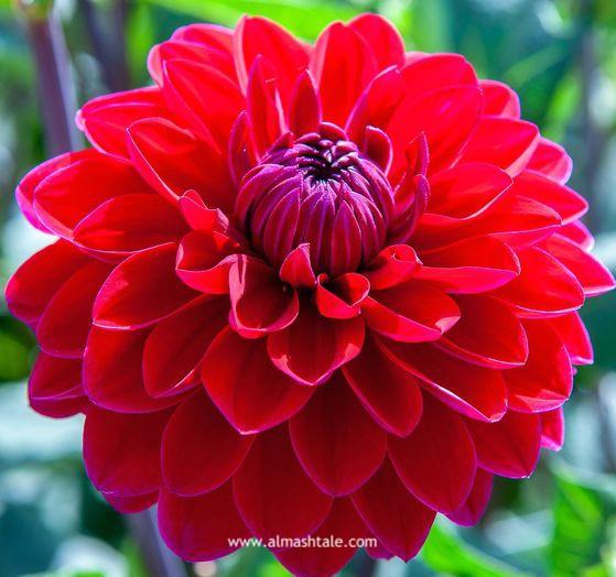 زهور الداليا Dahlia