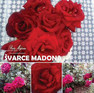 ŠVARCE MADONA - Schwarze Madonna Crvena ruža, Hibridna čajevka