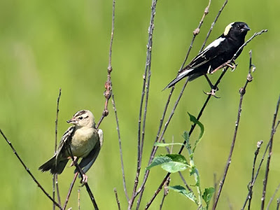 Bobolink Male and Female