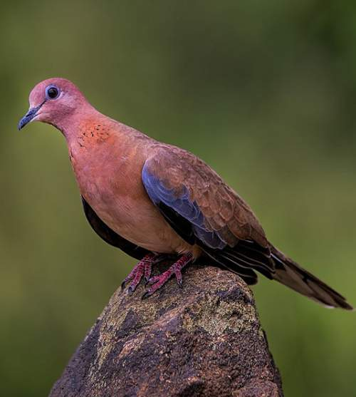 Indian birds - Image of Laughing dove - Spilopelia senegalensis