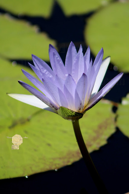 Bright Jacaranda Blue Lotus Flower