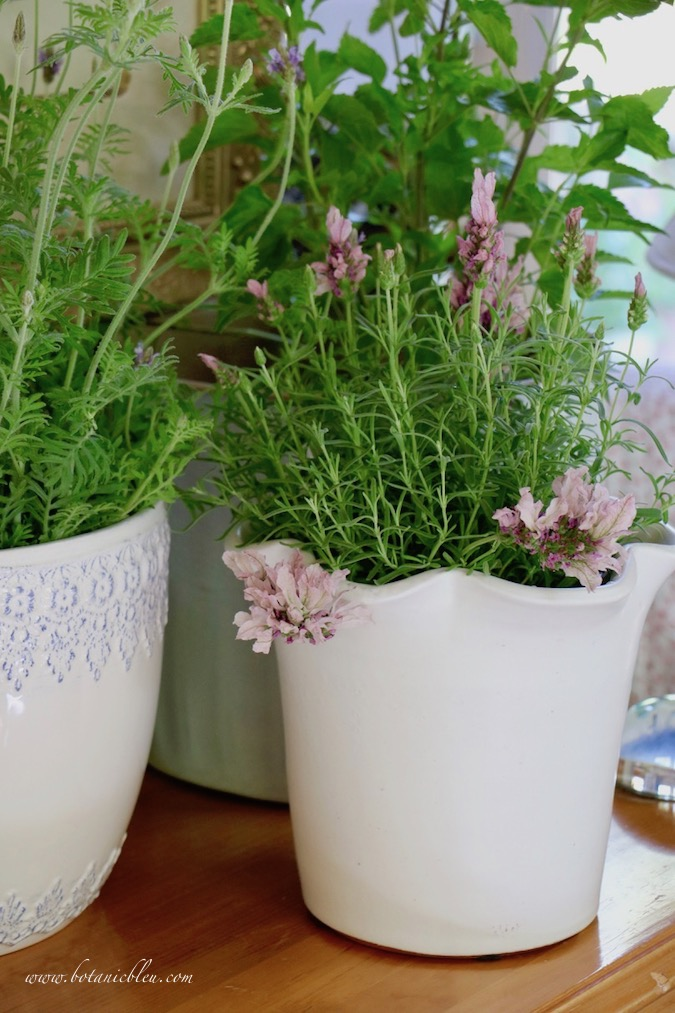 Spring Gardening with new flower pots and lavender