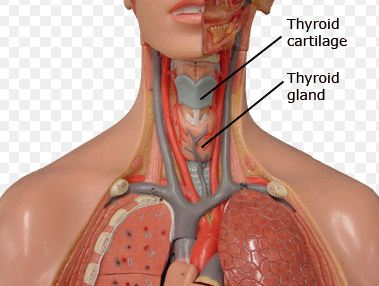 Where Is The Thyroid Gland Located
