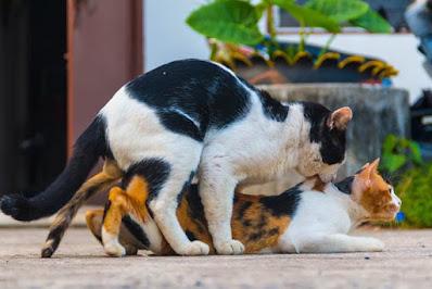 Todo sobre el apareamiento de gatos