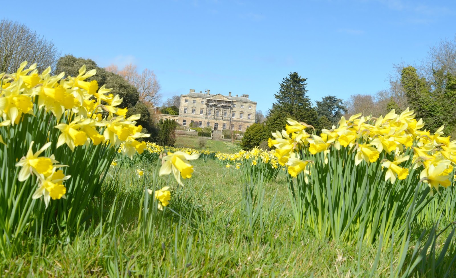 10 North East Hidden Gems to Visit this Year - Daffodils at Howick Hall