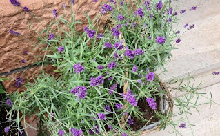 tanaman lavender pengusir nyamuk