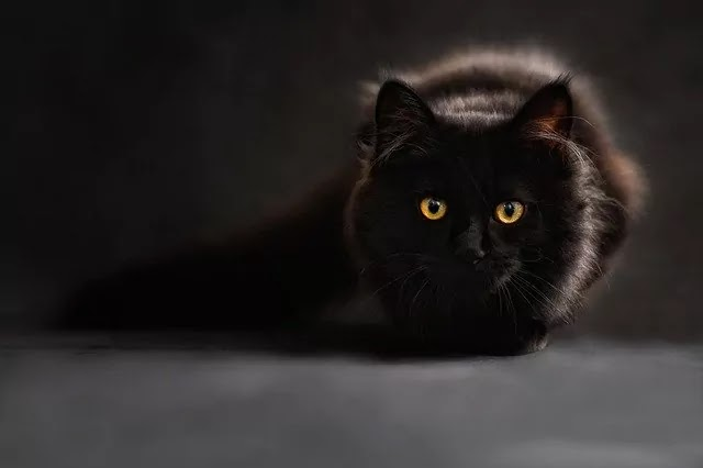 black look color cat image