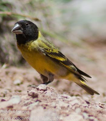 """alt=""""cabecitanegra picudo,Spinus crassirstris,cabecita,aves de Mendoza"""""""