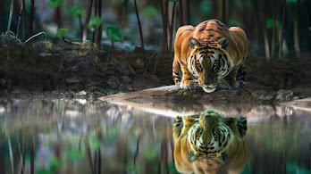 Tiger, Glowing, Eyes, 4K, #4.2354