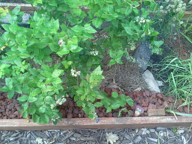Lava Rock Mulch to protect strawberry plants from slugs