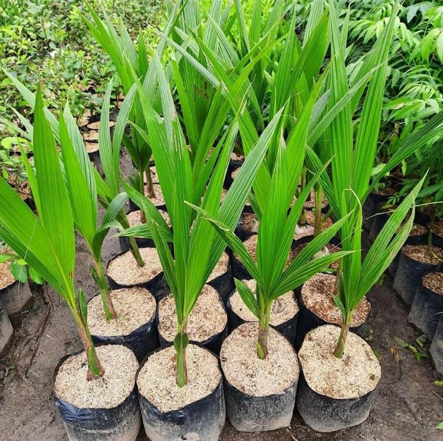 bibit kelapa entok Jawa Timur