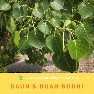 Daun & Buah Bodhi